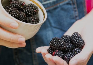 Cupped palm full of blackberries
