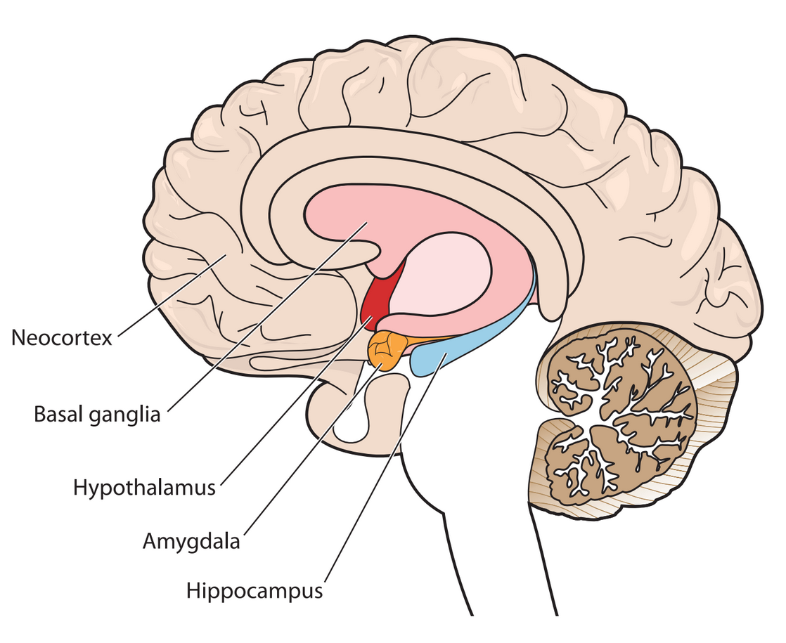 The neocortex is located at the front-most part of the brain. The basal ganglia are located at the  center of the brain. The hypothalamus is located below the basal ganglia and right above the  brain stem. The amygdala is located below the hypothalamus. The hippocampus is located  directly to the right of the amygdala.